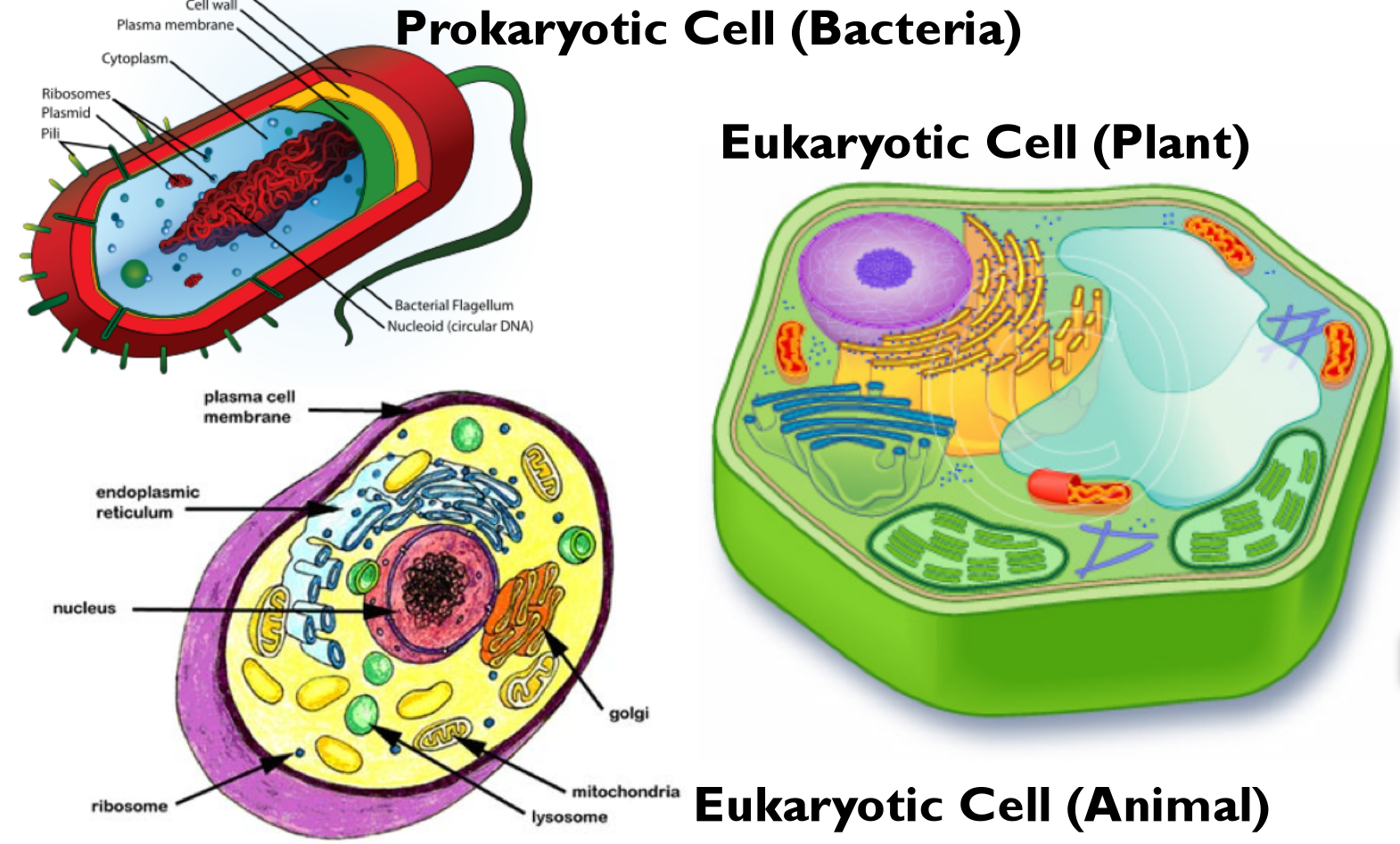 prokaryotic cells Learn about prokaryotic cells, single-celled organisms that are the earliest and most primitive forms of life on earth and include bacteria and archaeans.